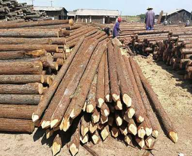 杉木桩在种植方面的重要事项