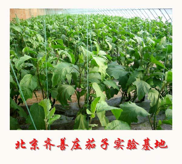 北京齐善庄茄子实验基地