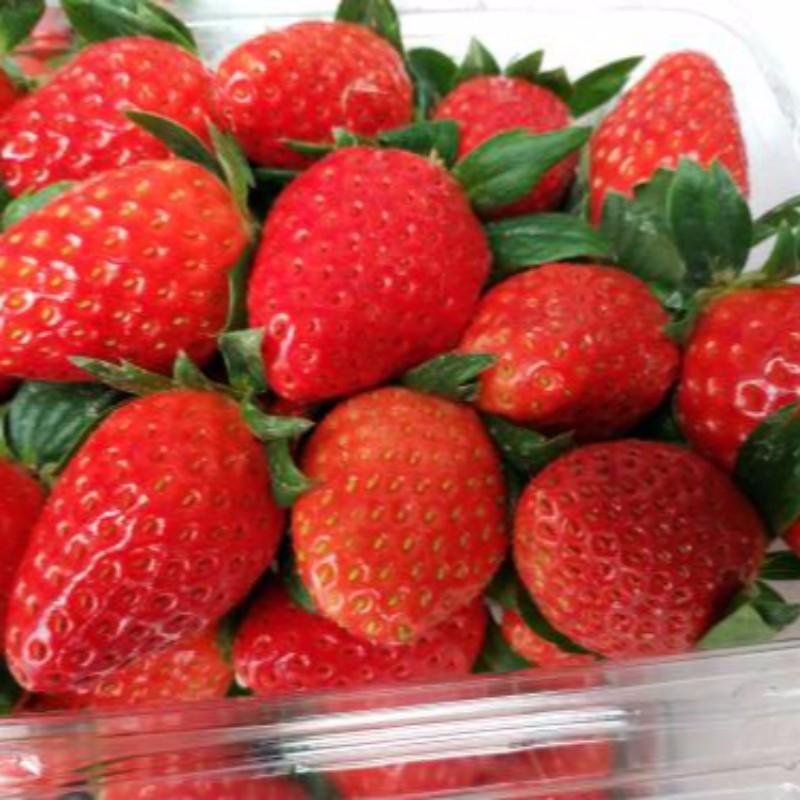 章姬草莓 种苗