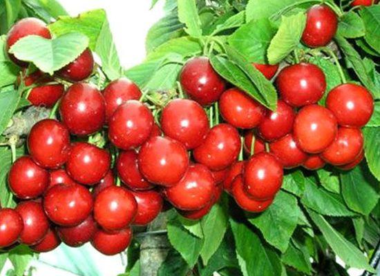 红灯樱桃 种苗