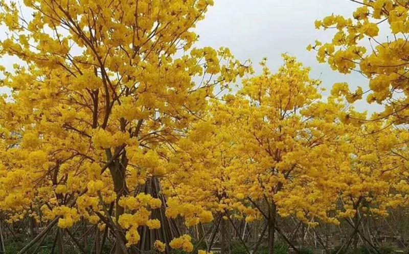四川黄花风铃木怎么种植好?