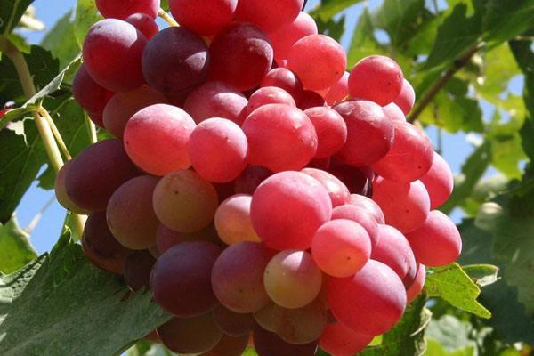 克瑞森葡萄 种苗