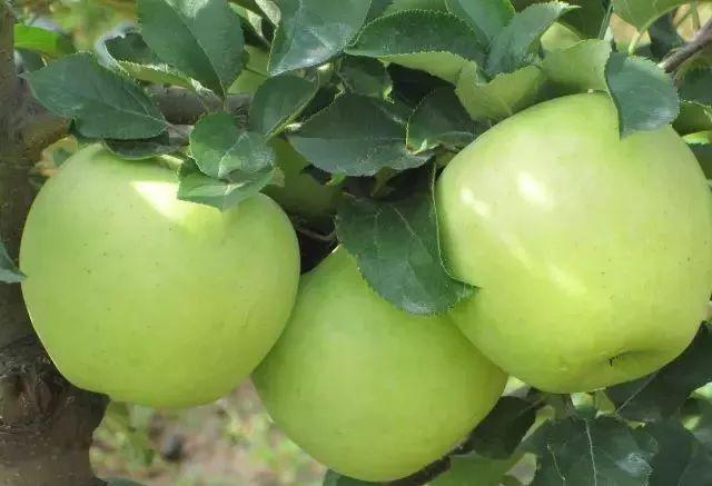 名月水蜜桃苹果 种苗