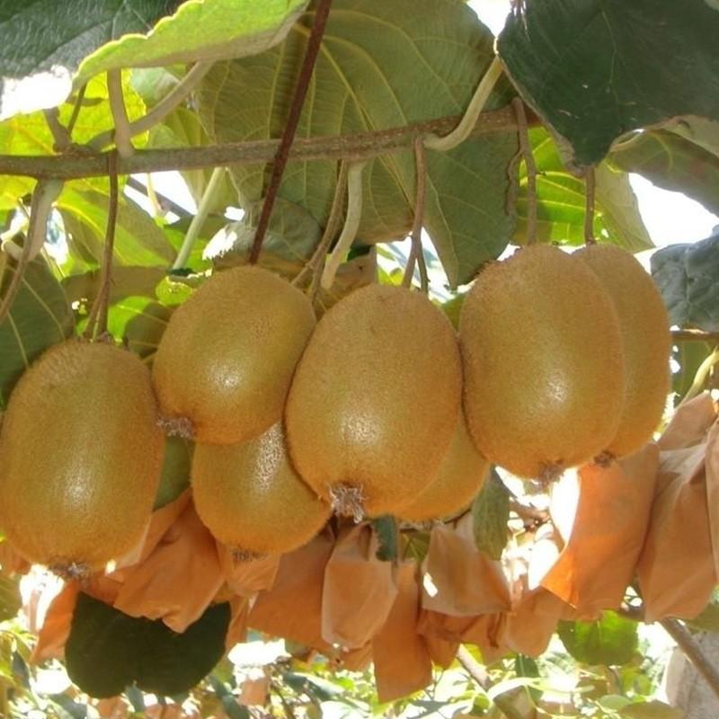 徐香猕猴桃价格