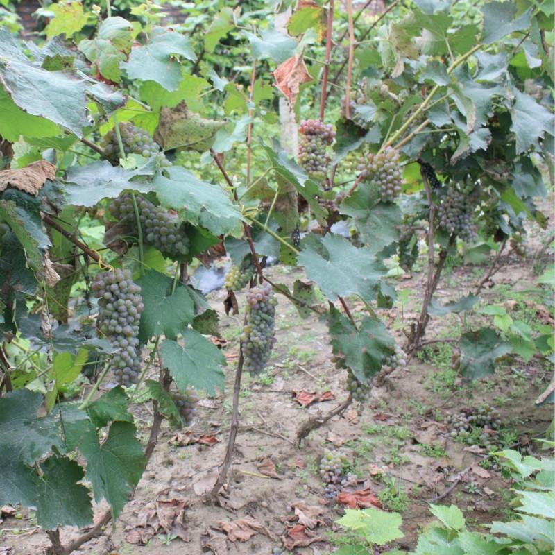 鲜食抗寒葡萄18号  种苗