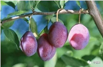 西梅:奇迹水果之身世介绍