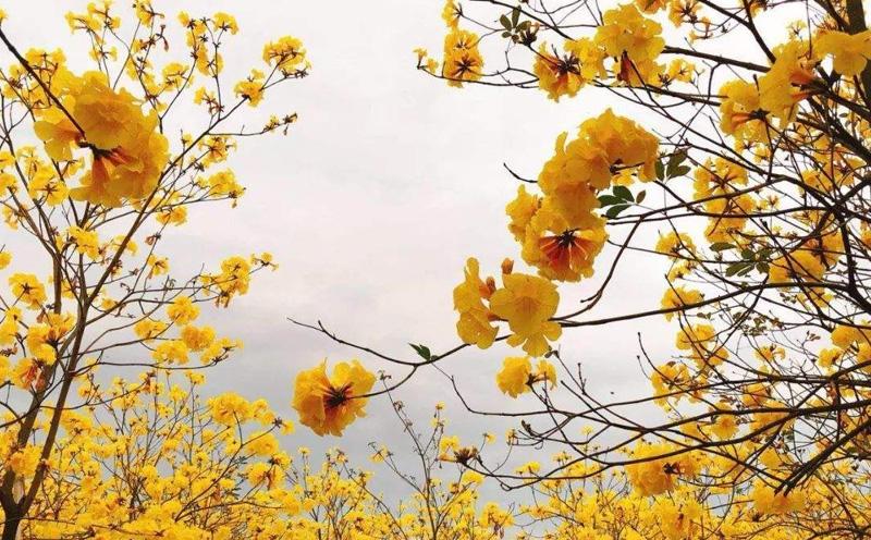 黄花风铃木的病虫害该如何防治