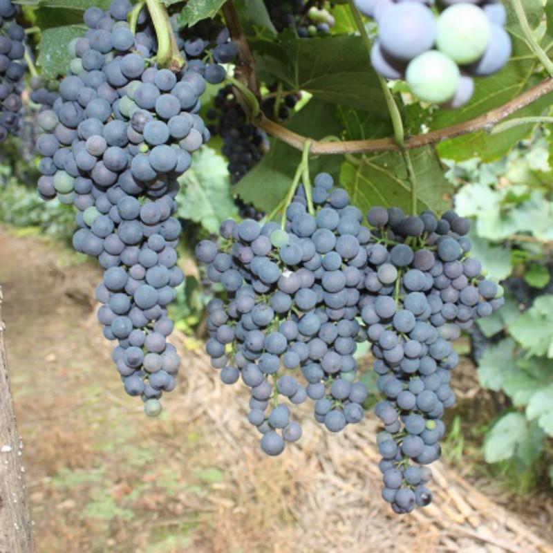 酿酒抗寒葡萄6号 种苗