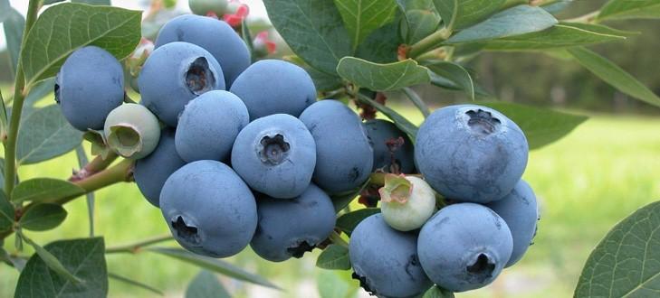 藍莓怎么吃有營養?