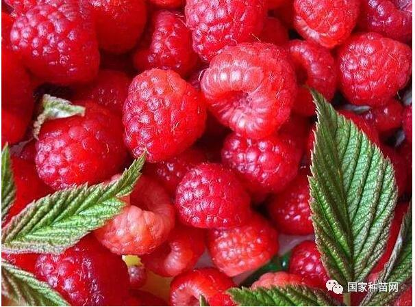 树莓种植及管理技术
