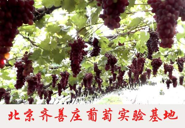 北京齐善庄葡萄实验基地