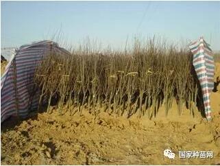 果树苗木假植方法