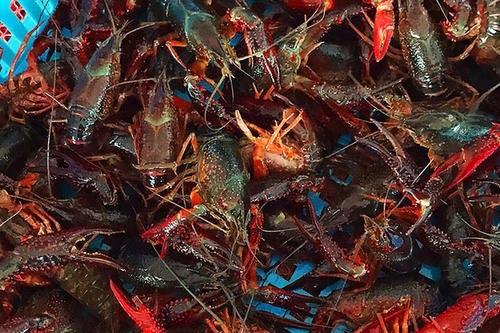 蚌埠小龙虾生态养殖