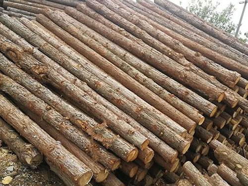 江苏杉木桩加工前要注重杉木的栽种