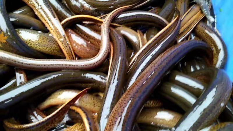 重庆大闸蟹和泥鳅具有广阔的海内外市场