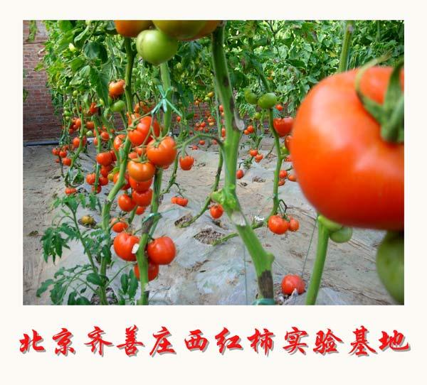 北京齐善庄西红柿实验基地