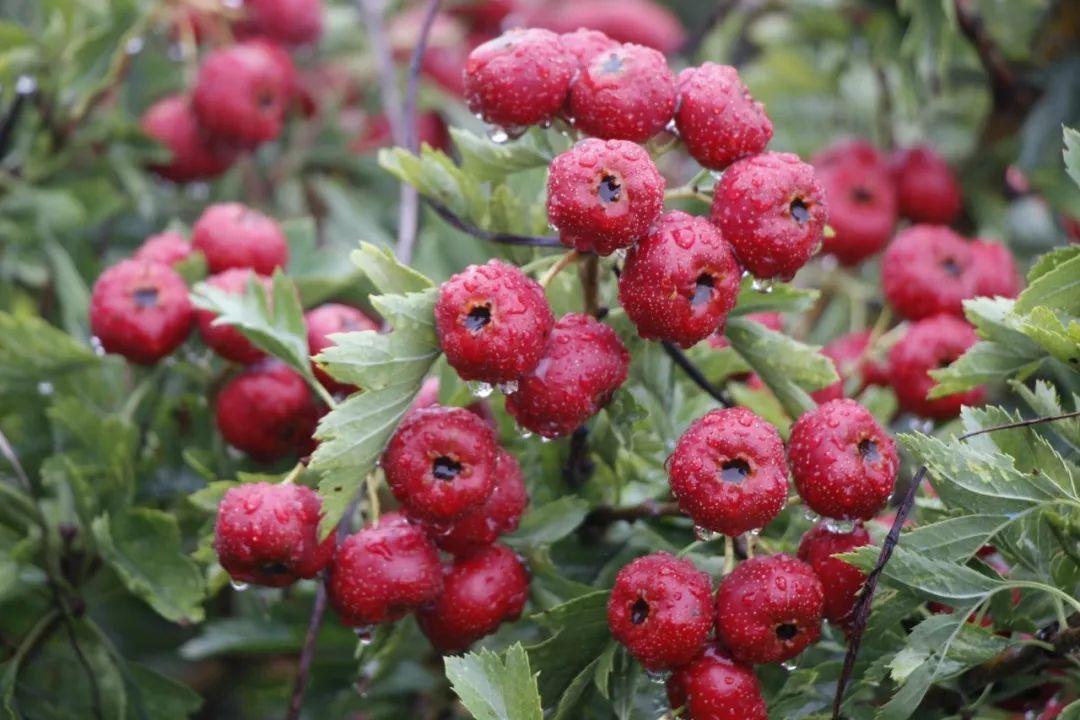 甜红子山楂 种苗