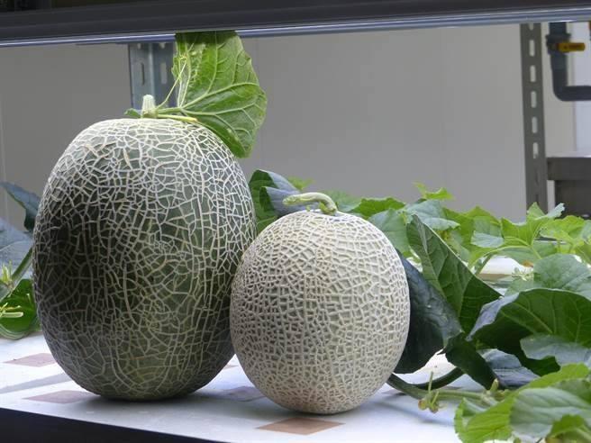 种植哈密瓜需要什么肥料?施肥方法有哪些?