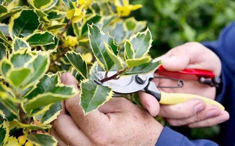 修剪苗木时需要注意一些问题,你知道吗