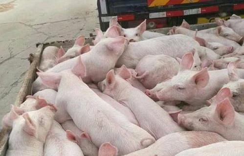 挑选出优质猪苗的方法有哪些呢?