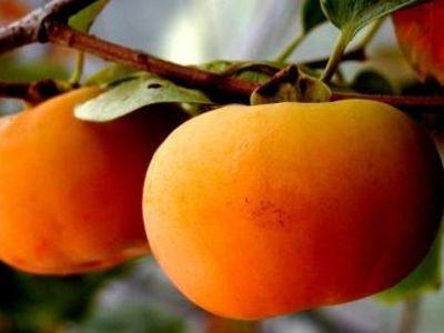 日本甜柿 种苗