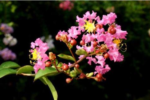 湖北省两个紫薇新品种通过实地审查