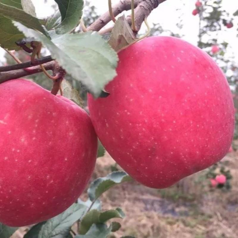 众成三号苹果 种苗