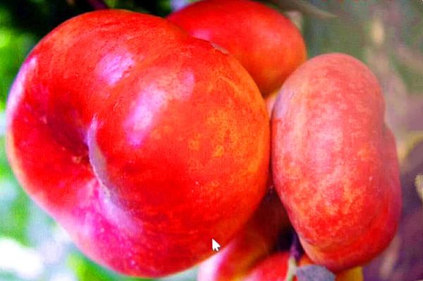 36-5早熟黄肉油蟠桃 种苗