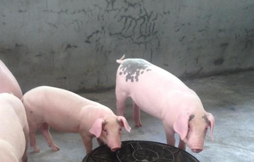 农民们想养猪,该如何选择和购买优质的猪苗呢?