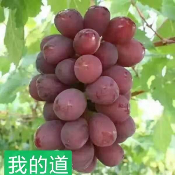 我的道葡萄 种苗