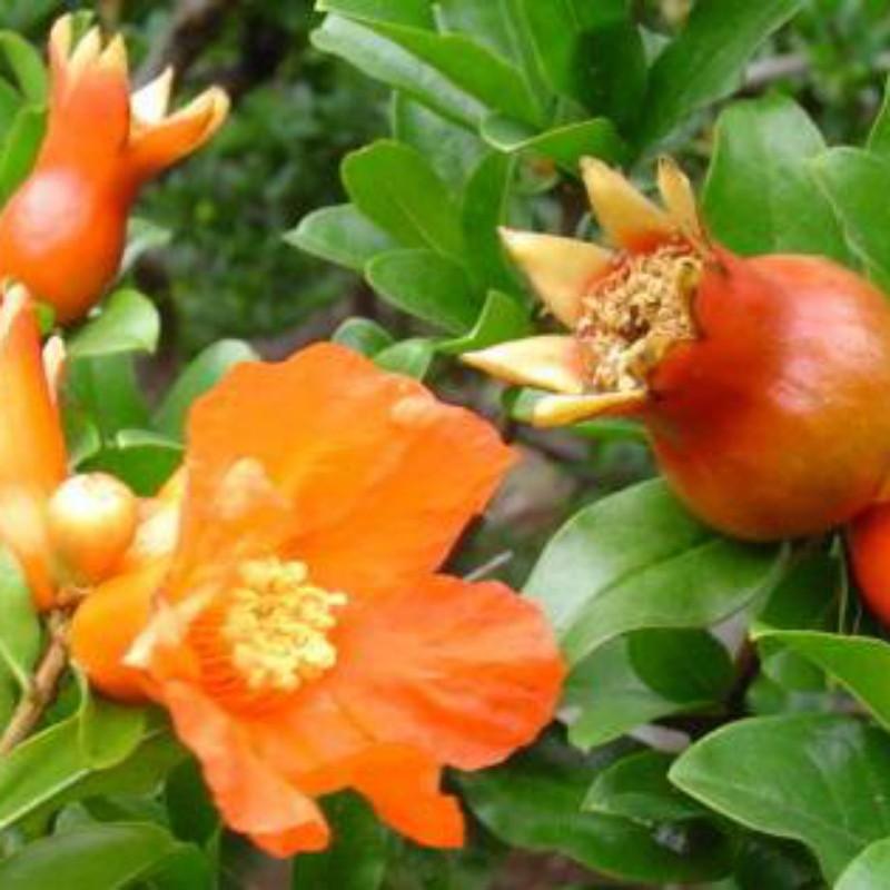 牡丹花石榴 种苗