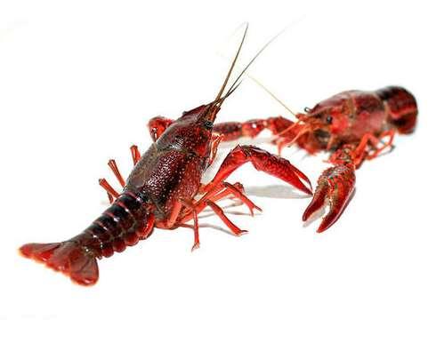 淡水原生态大龙虾对河流生物的适应