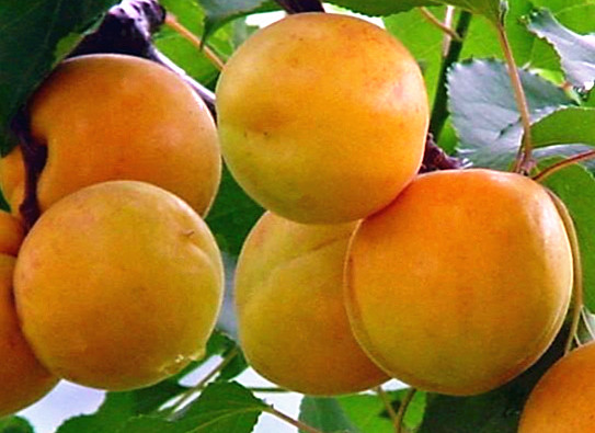 巨蜜王杏 种苗