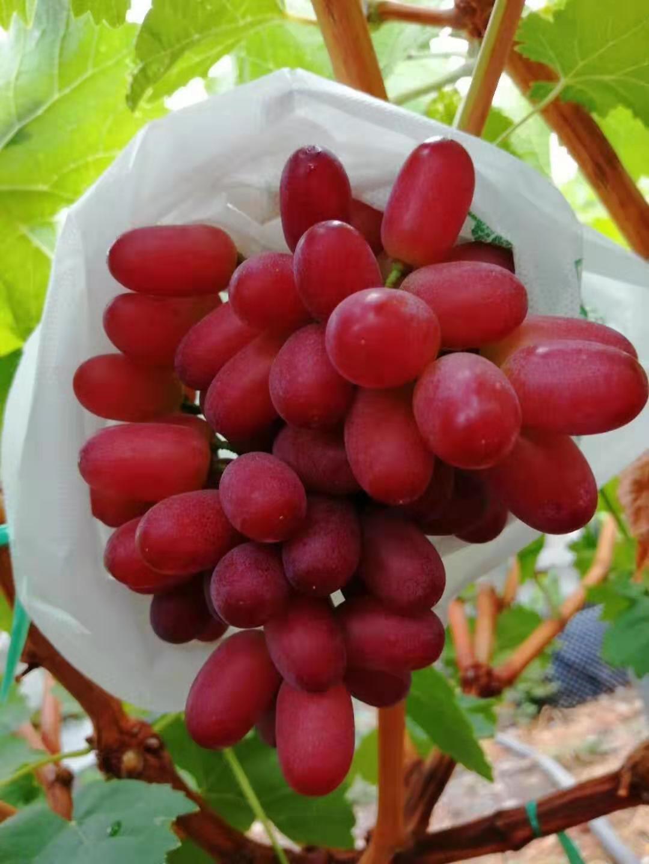 深红无籽葡萄 种苗