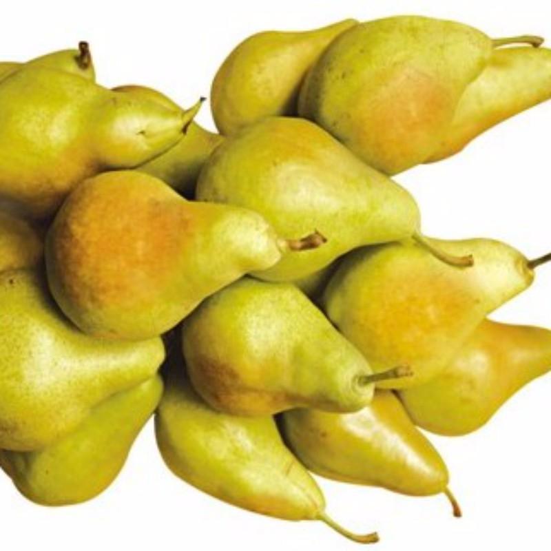 晚洋梨 种苗