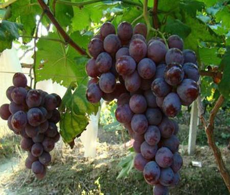 夏日阳光葡萄 种苗