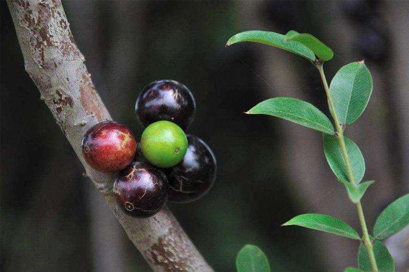 嘉宝果的种植前景分析及生长环境要求