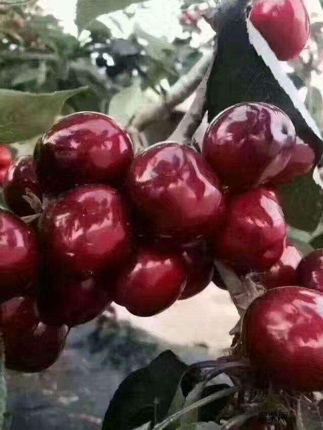 俄罗斯8号樱桃 种苗