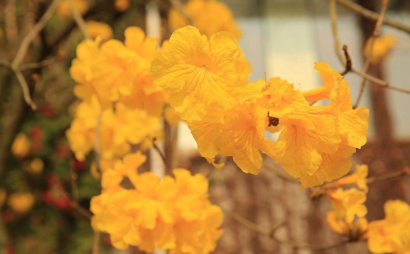 黄花风铃木怎么才能养开花