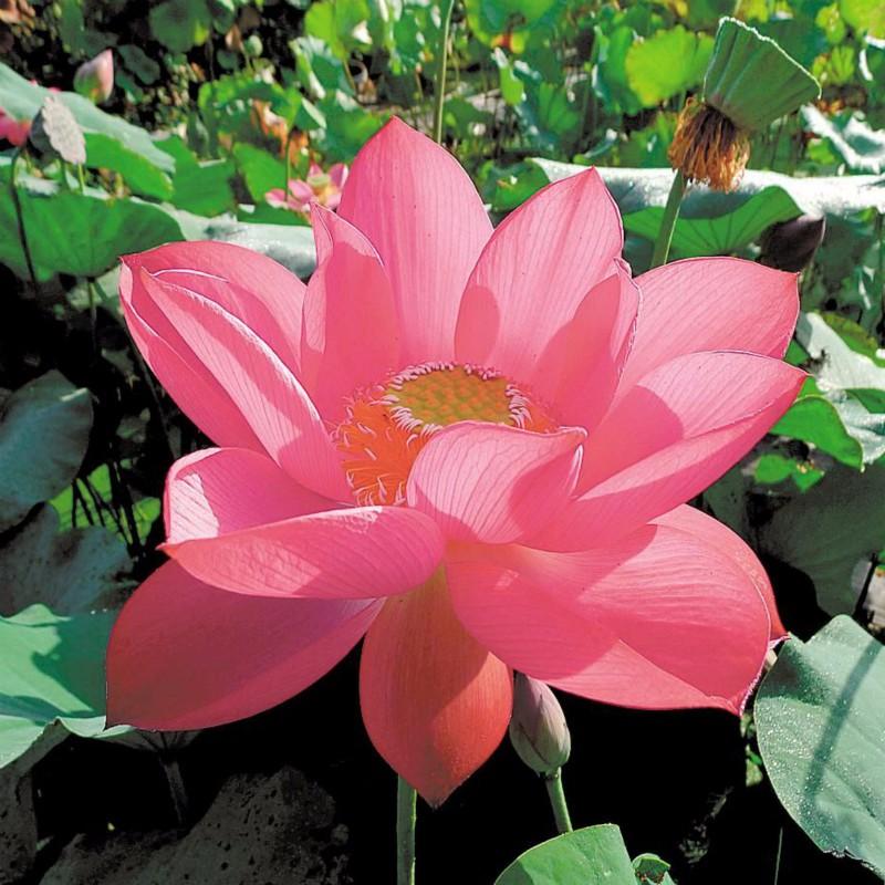 武汉植物园五个莲花新品种获国际认证
