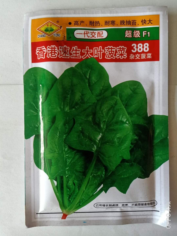 速生大叶菠菜种子批发