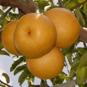 黄金梨 种苗
