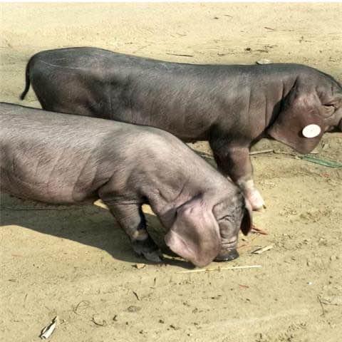猪苗养殖中几个不可忽视的主要时期