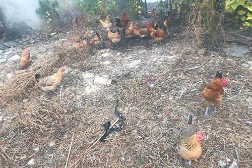 芜湖农家土鸡
