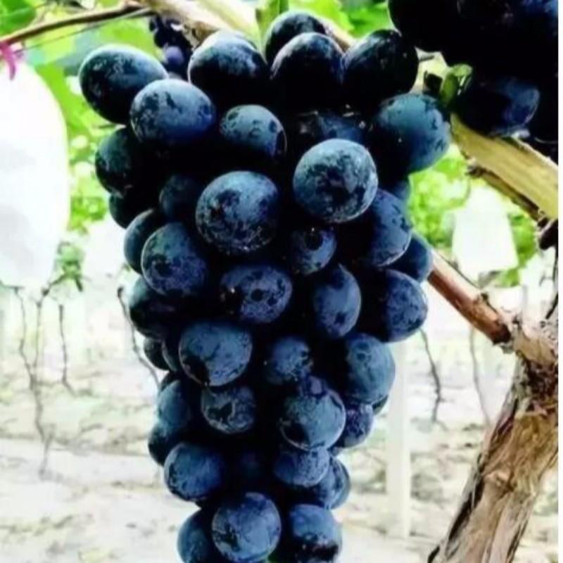 天工墨玉葡萄 种苗