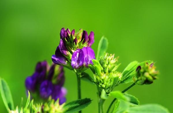 紫花苜蓿的高产种植方法