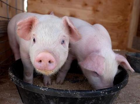 今日育肥仔猪价格上涨,补栏风险何如呢?