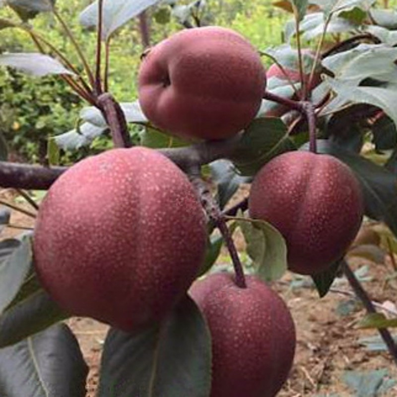 澳红一号梨 种苗