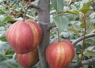 早酥红梨 种苗