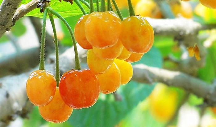 雷尼樱桃 种苗